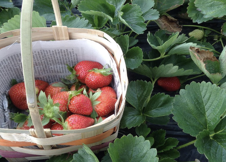 Session Groceries' Benguet strawberries